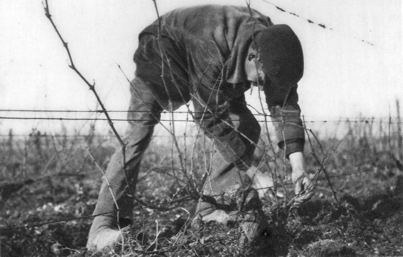 1_1930_vinif_travail_vigne_hiver