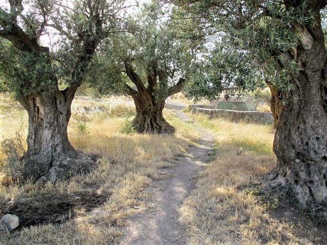 1hebron_800year_olive_tree_tel_rumeida