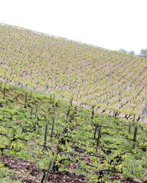 1alice_olivier_de_moor_organic_non_organic_vineyard