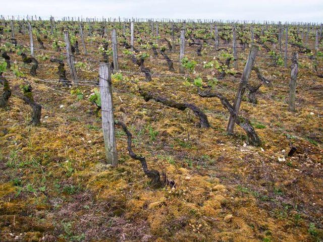 1northern_burgundy_weedkiller-saturated_vineyard