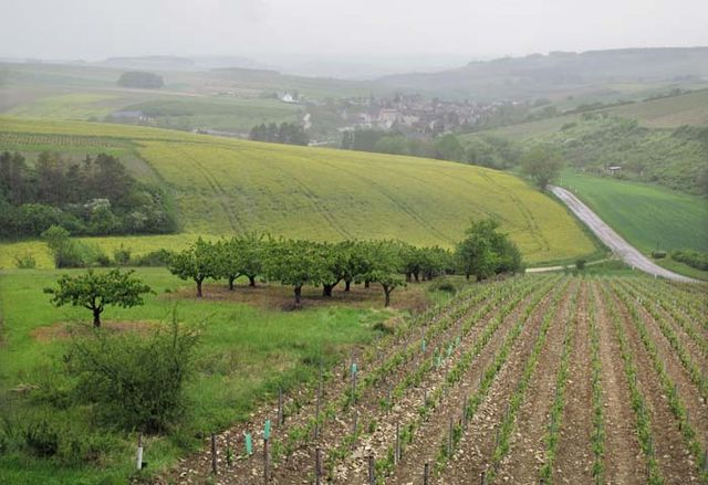 1courgis_chitry_road_vines_and_cherry_trees
