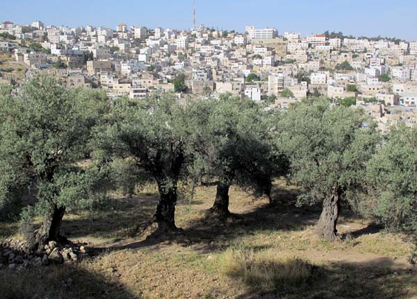 1hebron__olive_trees_muslim_city