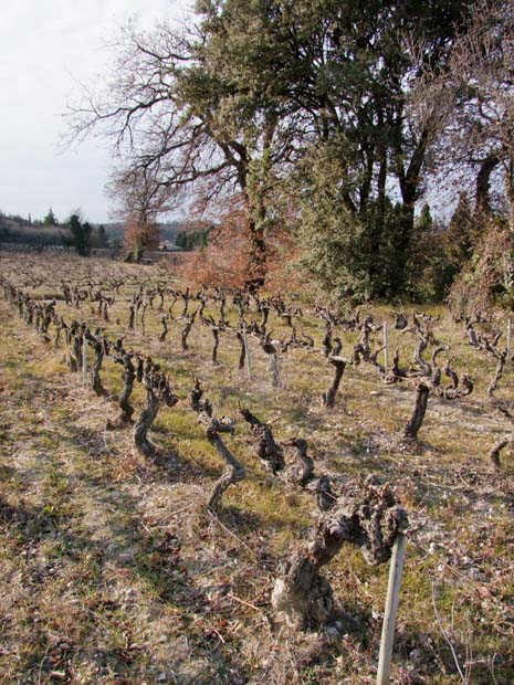 1nicolas_renaud_vieille_vigne_arbres_bordure