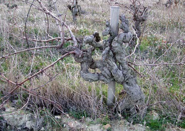 1nicolas_renaud__rhone_very_old_vine