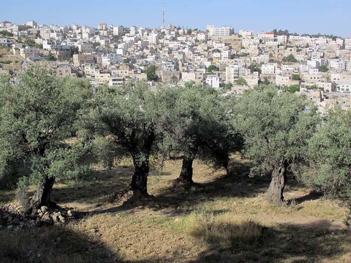1hebron__olive_trees_muslim_city