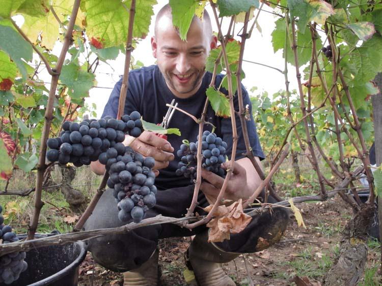1pacalet__harvest_pommard_attila_coupe2
