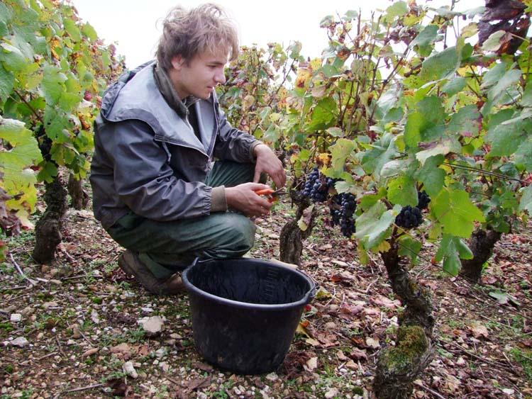 1pacalet__harvest_pommard_kneeling_picker