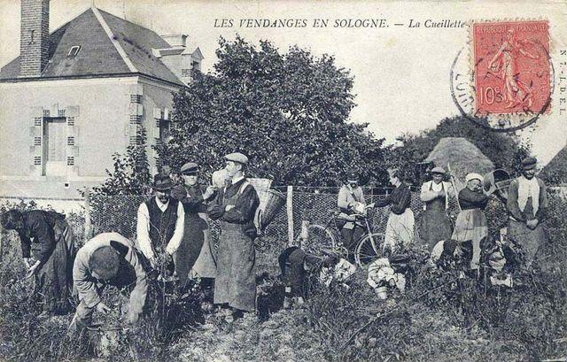 1cueillette_vendanges_sologne