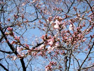 1hanami_first_flowwers_march17_2013_tokyo