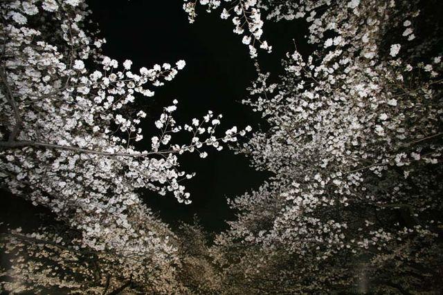 1hanami_cherry_blossom_at_night_tokyo