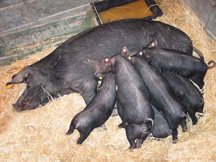 1salon_agriculture_cochons_noirs