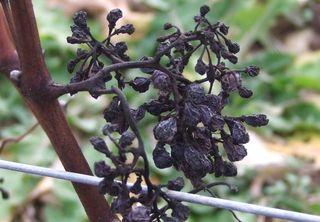 1francois_ecot_burgundy_dessicated_grapes