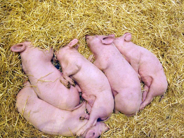 1salon_agriculture_porcinets