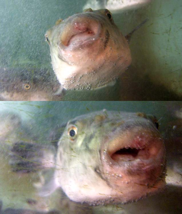 1fugu_aquarium_asakusa