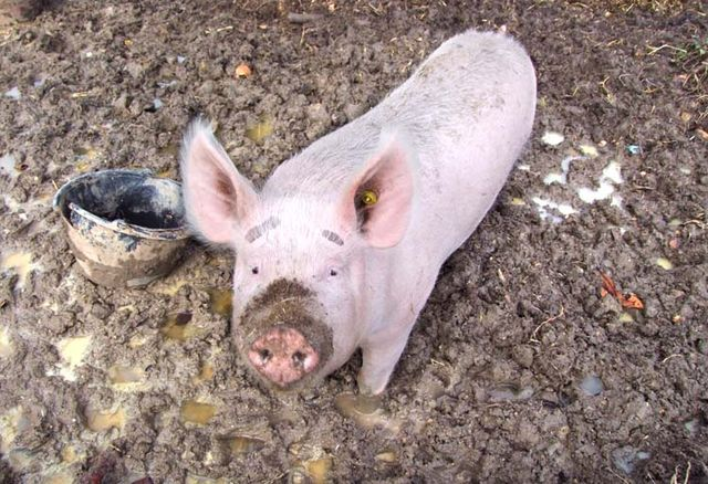 1jellied_pork_feet_the_real_thing_alive