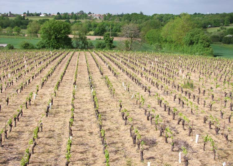1muscadet_conventional_vineyard_weedkillers_soaked