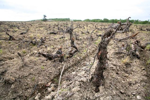 1muscadet_uprooting_old_vines
