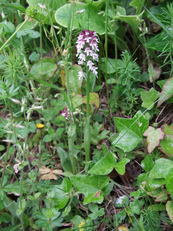 1clos_roche_blanche_didier_woods_wild_orchid