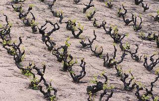 1beaujolais_dead_soil_vineyard_detail