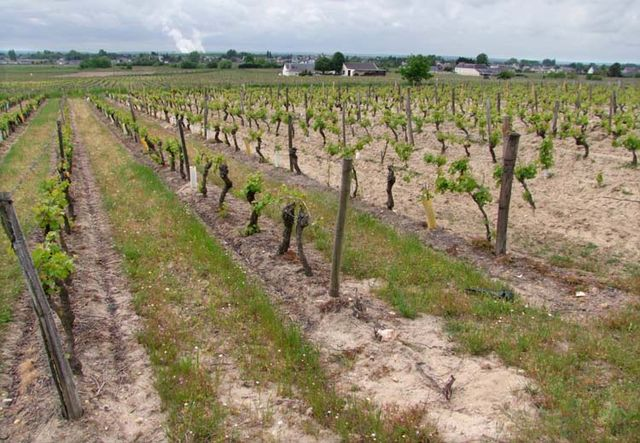 1bourgueil_golf_lawn_weedkillers-soaked_vineyard