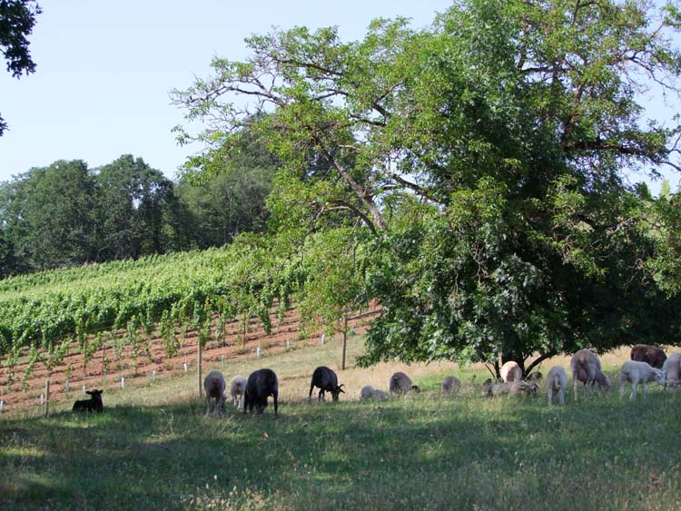 1belle_pente_oregon_sheep_biodynamic_farm
