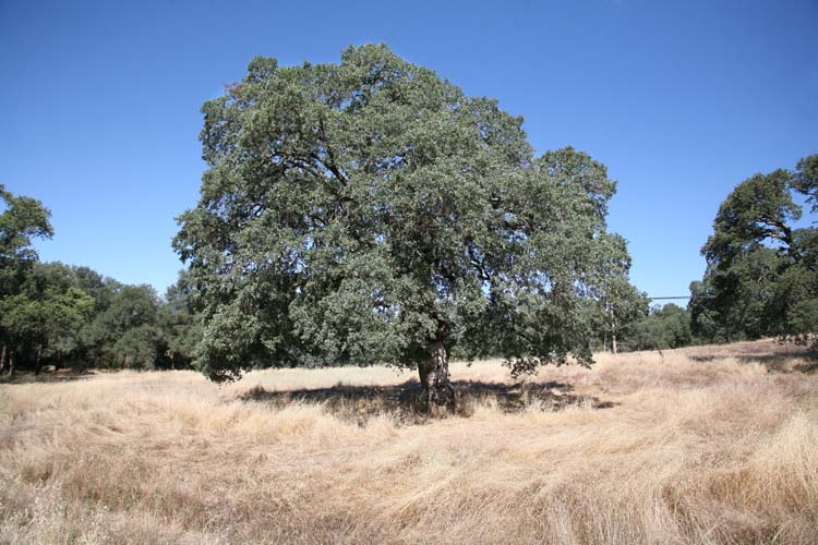 1clos_saron_oaktree_near_oregon_house_ca