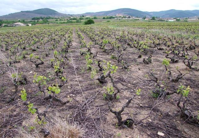 1beaujolais_dead_soil_vineyard