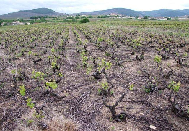 1beaujolais_dead_soil_vineyard