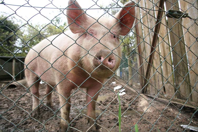 1descombes_neighbor_pig