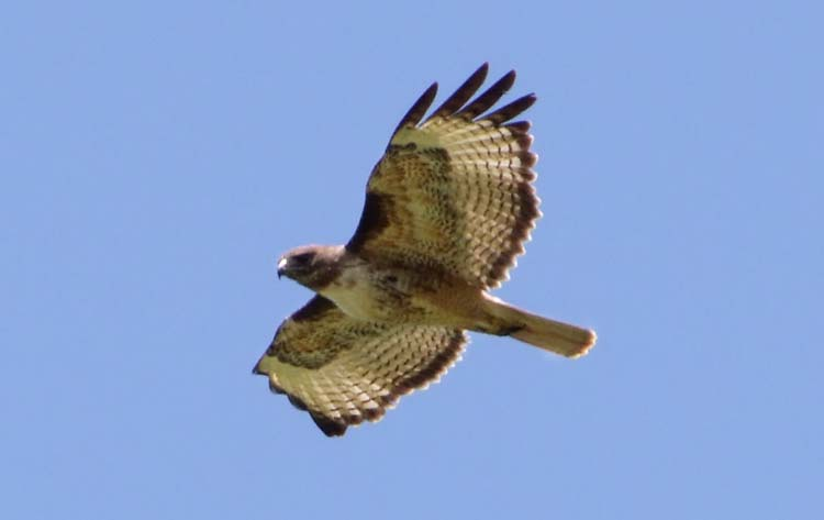 1eyrie_red-tailed_hawk