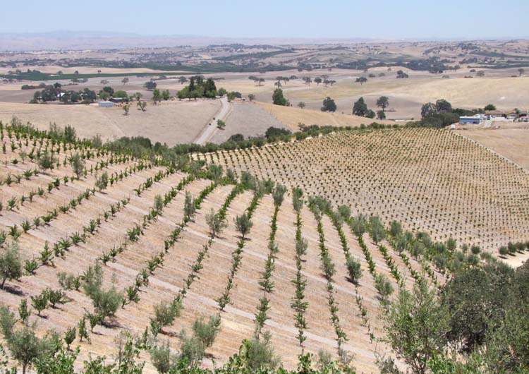 1AmBith_dry-farmed_vineyard_overview