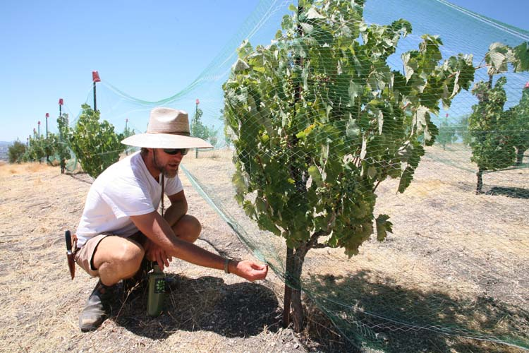 1AmBith_estate_nets_vineyard
