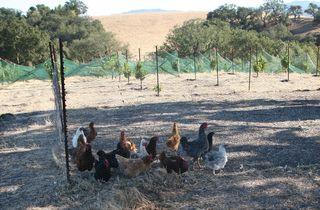 1AmBith_estate_biodynamic_hens_vineyard