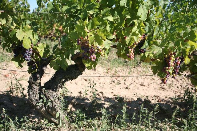1domaine_R_les_grands_pieces_parcel_old_vines