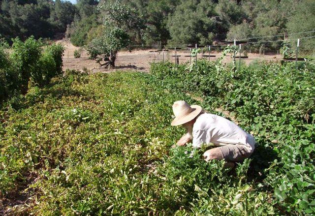 1lost_cabin_CA_tending_crops