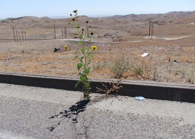 1US_petroleum_hwy_desert_flowers