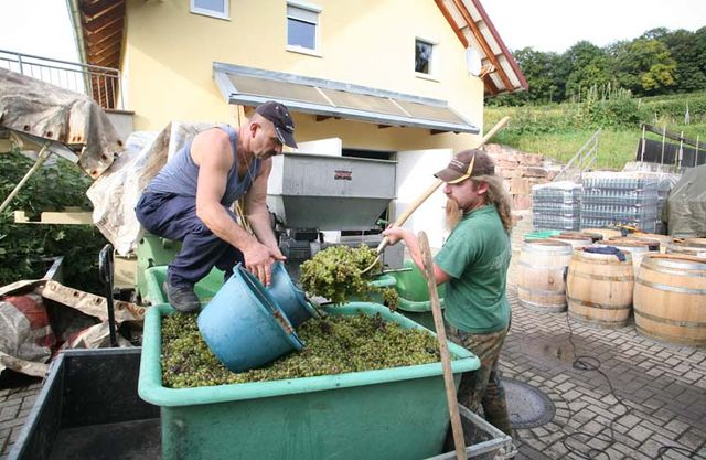 1enderle_moll_munchweier_unloading_grapes