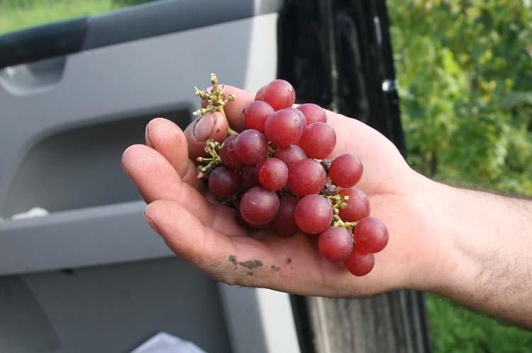 1enderle_moll_table_grape_muscatel