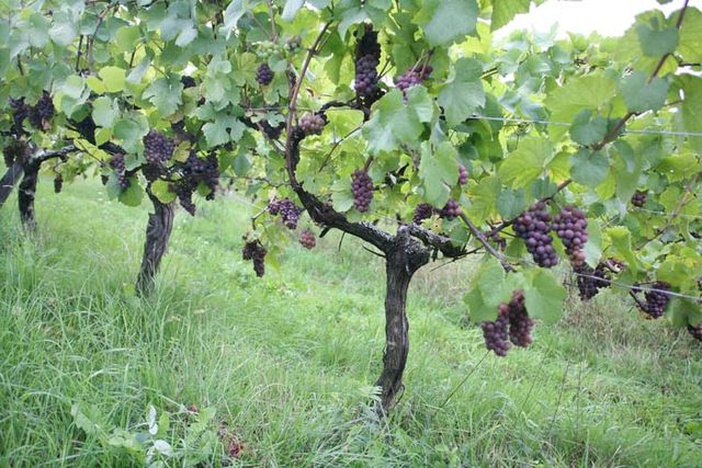 1andre_durrmann_pinot_gris_planted1981