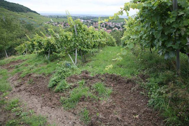 1andre_durrmann_andlau_wild-boar_digging