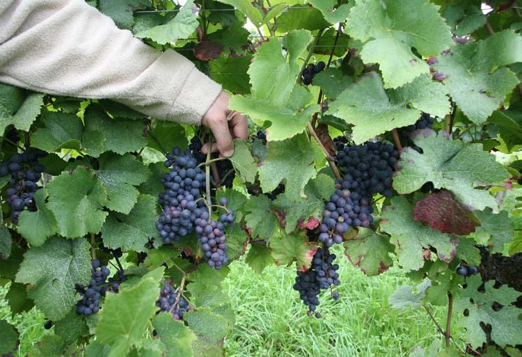 1andre_durrmann_andlau_pinot_noir_grapes