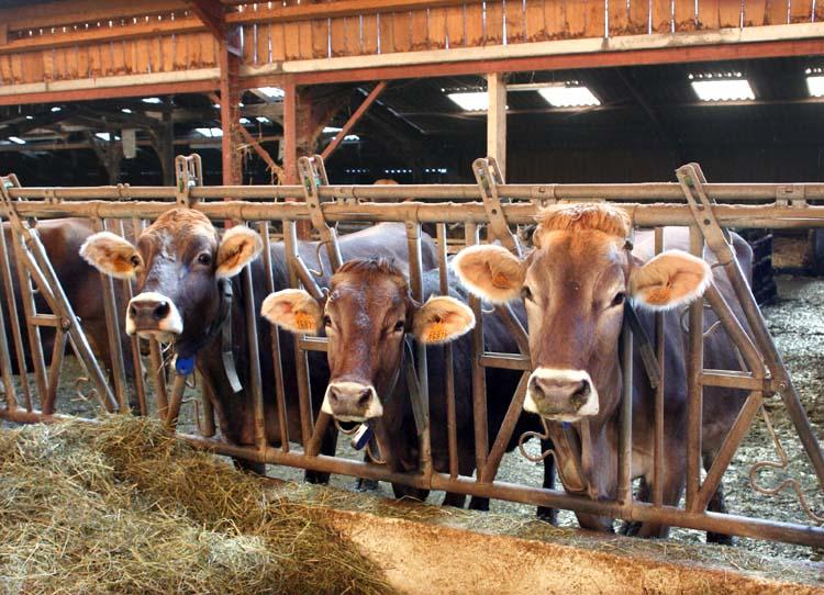 1epoisses_cheese_farm_brunes-des-alpes