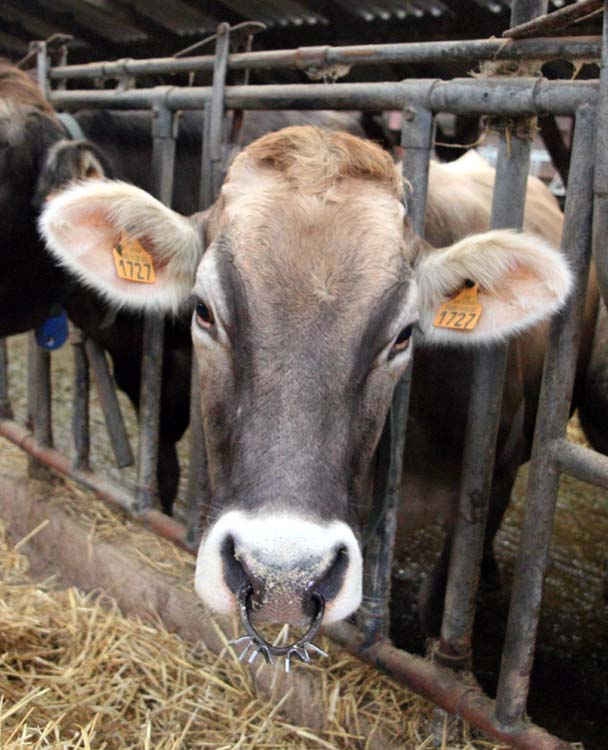 1epoisses_cheese_farm_cow