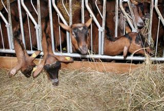 1abbaye_pierre_qui_vire_tomme_goats_hay