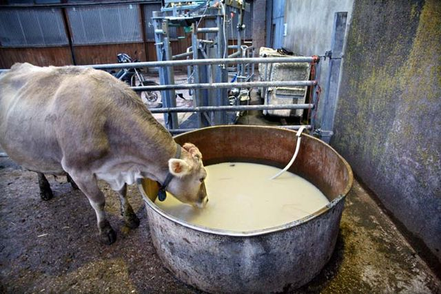 1abbaye_pierre_qui_vire_cow_drinking_whey