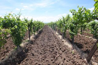 1matra_region_conventional_vineyard