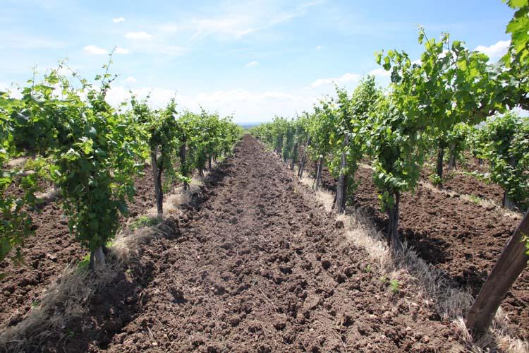 1matra_region_conventional_vineyard