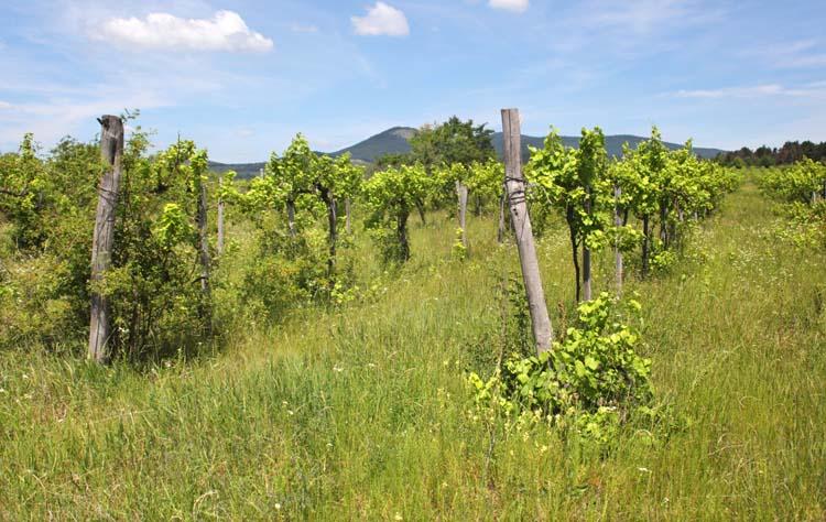 1balint_losonci_vineyard_grass