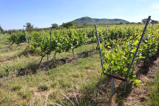1arbre_blanc_lyre_vines_volcanoe