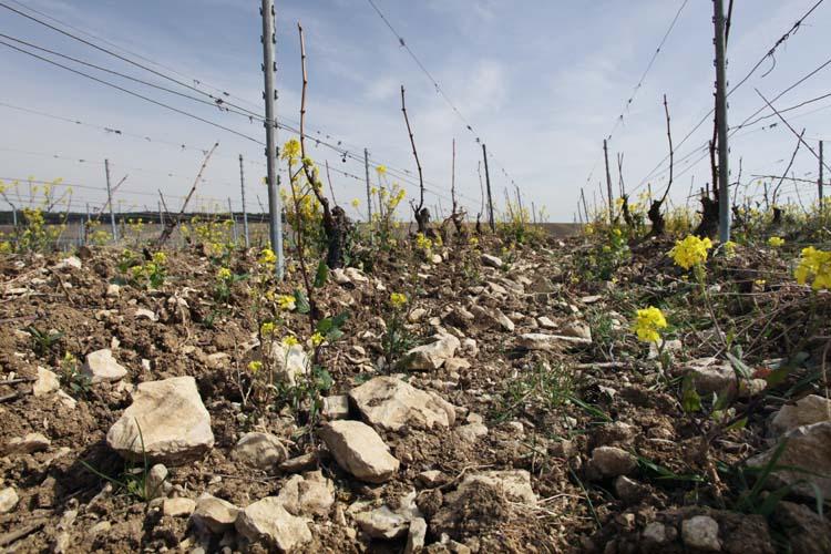 1pico_pattes_loup_chablis_vineyard_soil